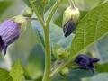 belladonna-fiori