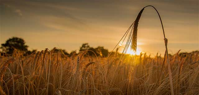 grano e brebus