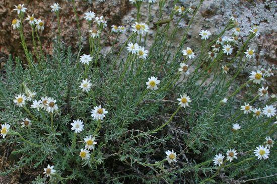 Helichrysum montelinasanum