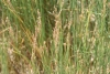 Juncus subulatus