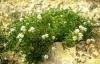 Psoralea morisiana