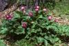 peonia mascula