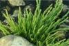 salicornia